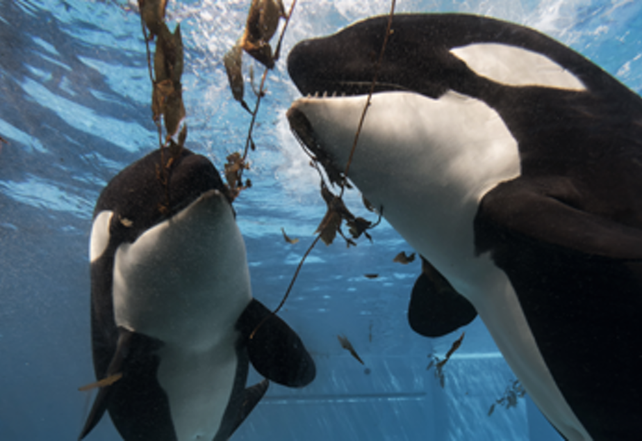 caption: SeaWorld parks said it has no interest in turning over its captive orcas to the Whale Sanctuary Project.