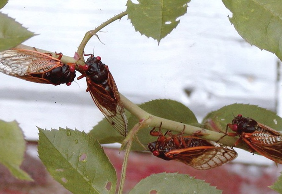 caption: Cicadas from Brood X in 2004 in Winchester, VA.