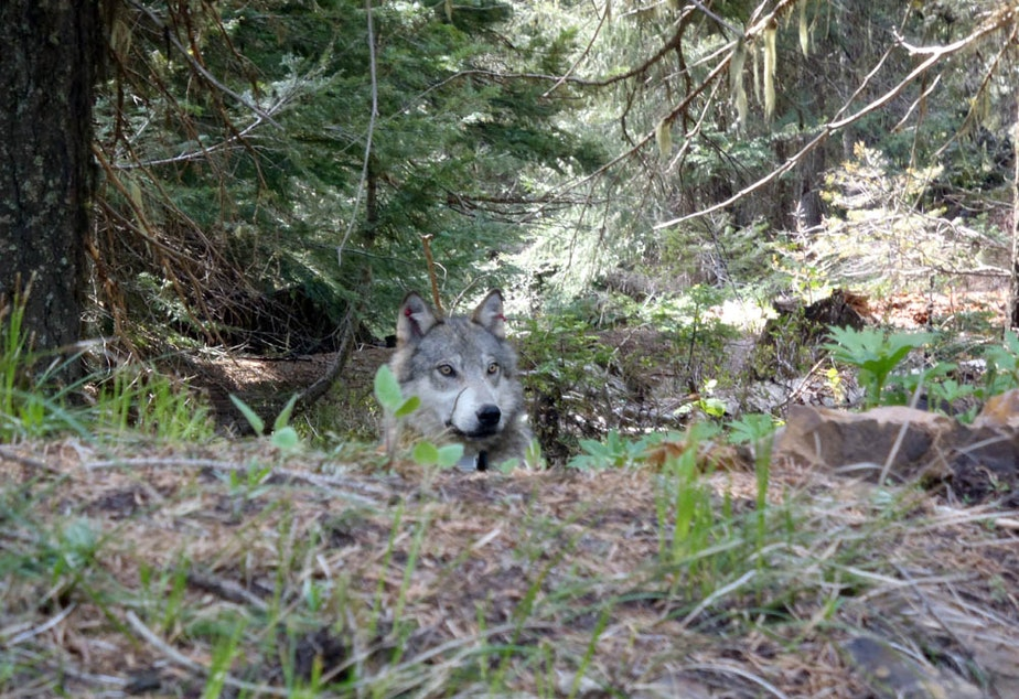 caption: A member of the Teanaway wolf pack in western Washington state. The wolf was in recovery from tranquilizing drug when this photo was taken.
