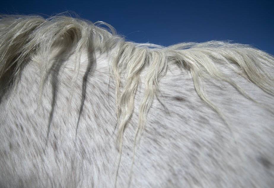 caption: Christina Cline's horse Sterling's mane is shown on Tuesday, April 23, 2019, near Carlton, Washington.