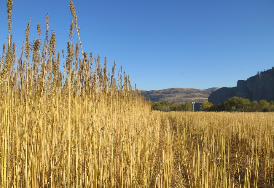 A hemp field during harvest this November on the Colville Indian Reservation.