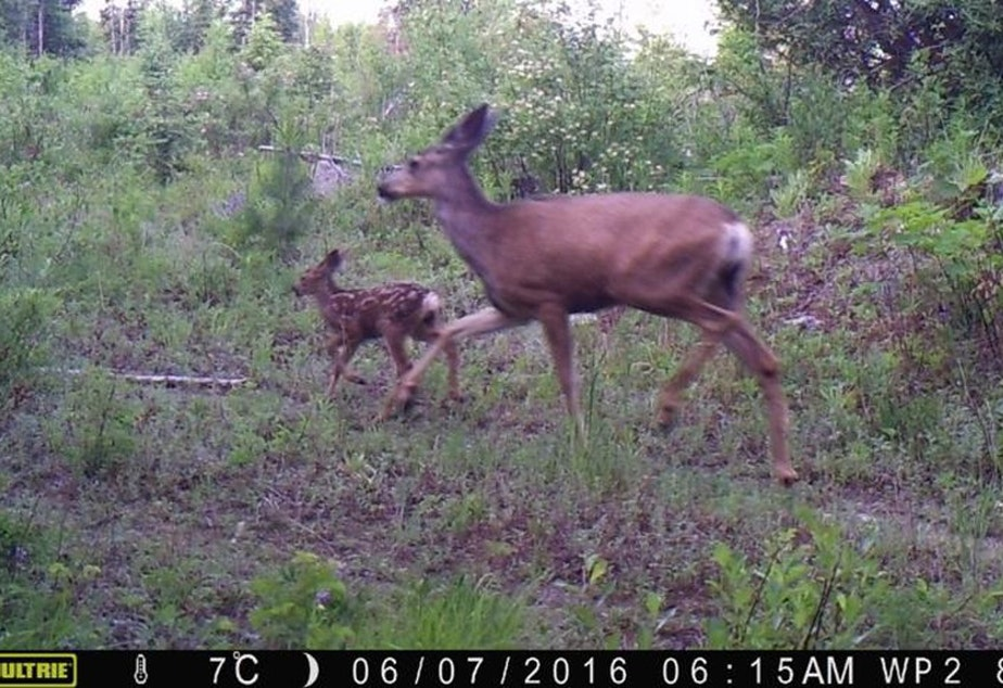 caption: Mule deer taken from a trail camera near Republic, Washington. As wolves return to Washington state, deer have taken notice. Researchers found deer change how they react when wolves are near – and that could eventually change how hunters hunt.Courtesy of the University of Washington