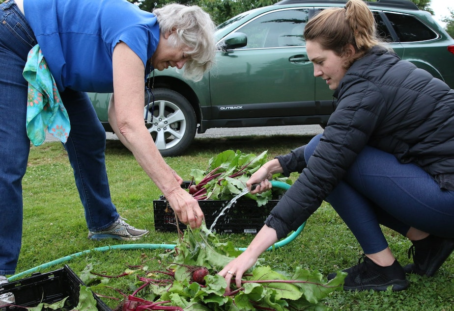 caption: Gardeners wash beets for the food bank at the Ballard P-Patch