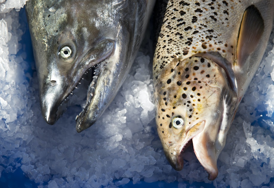 caption: A wild Pacific salmon, left, next to an escaped farm-raised Atlantic salmon, right, on Aug. 22 at Home Port Seafoods in Bellingham.