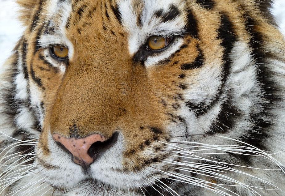 caption: A Siberian tiger