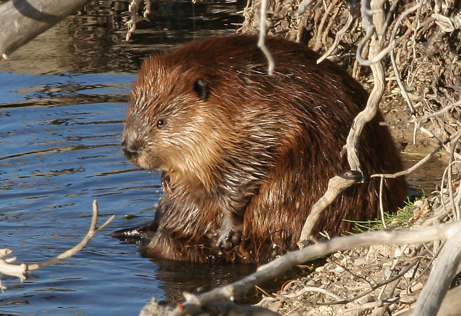 A beaver in Yellowstone National Park, 2007