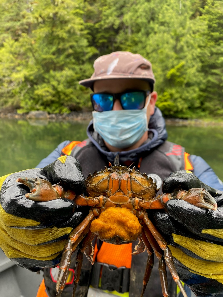 caption: Coastal Restoration Society technician Spencer Binda shows a European green crab, with her thousands of tiny eggs, caught in Clayoquot Sound on the west coast of Vancouver Island in August 2020.