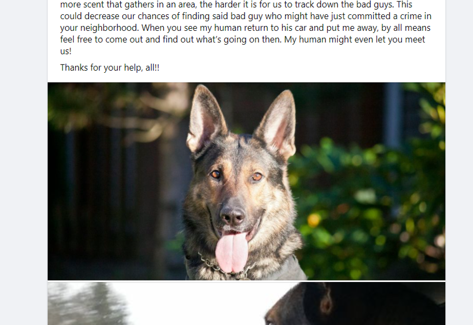 caption: Officer Jeffrey Nelson's police dog, Koen, was introduced on the Auburn Police Department's Facebook page after he and Nelson transitioned to days. Four days after this post, Koen bit a suspect who had been cooperating.