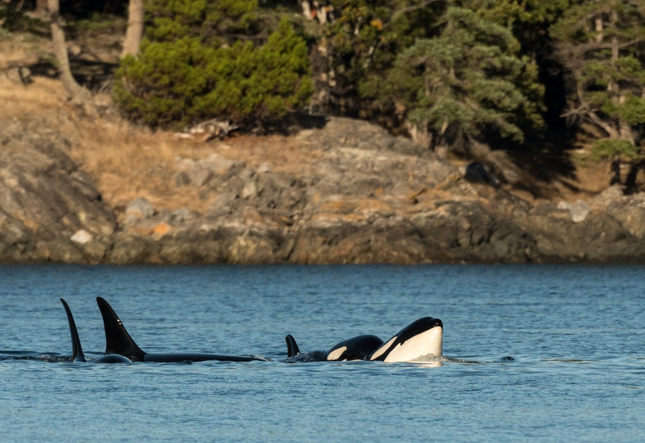 Orcas spotted from a whale watch boat in San Juan Channel Sept. 18.
