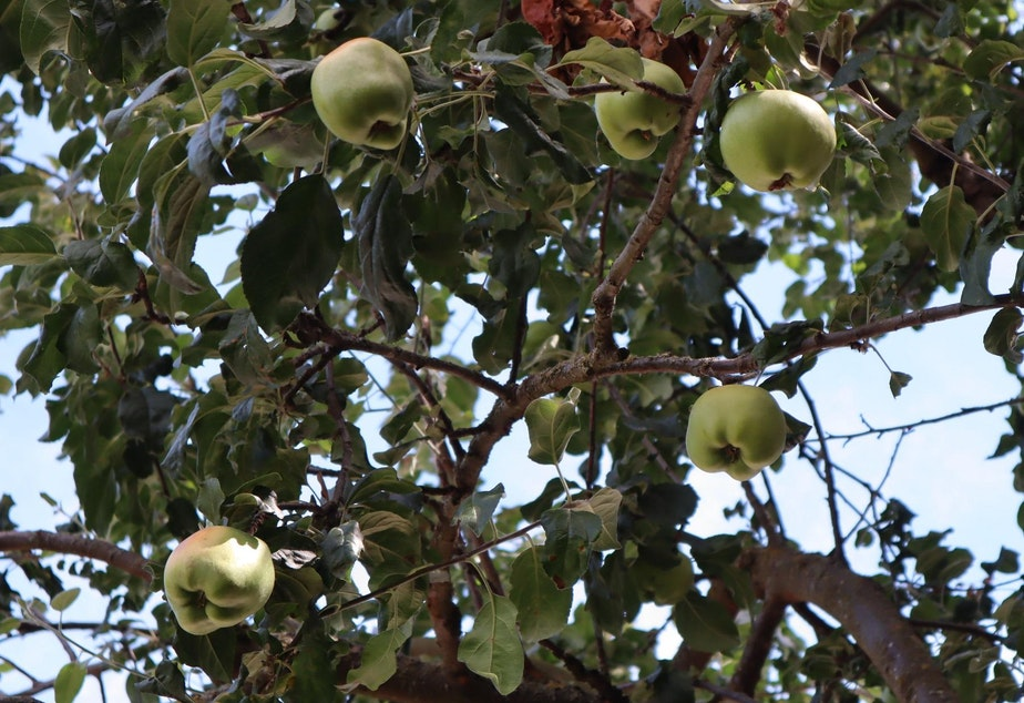 caption: A mature offspring of the Old Apple Tree on the grounds of the Clark County Historical Museum bears copious amounts of fruit. The apple variety is named English Greening.