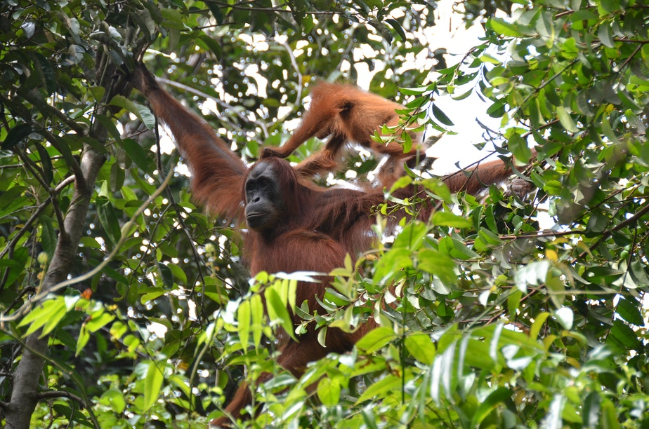 """caption: The mother will hold onto to two branches in a process called """"bridging"""" that allows their young to move from tree to tree."""