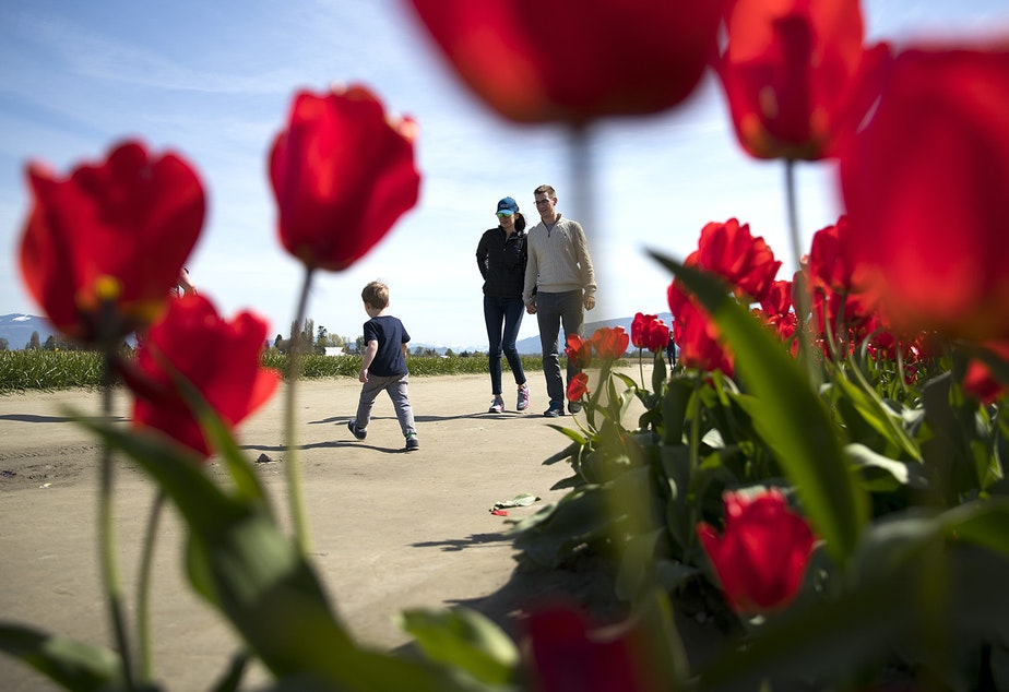 Patrons walk along a path next to rows of red tulips on Tuesday, April 24, 2018, at RoozenGaarde near Mount Vernon. Tap or click on the first image to see more.