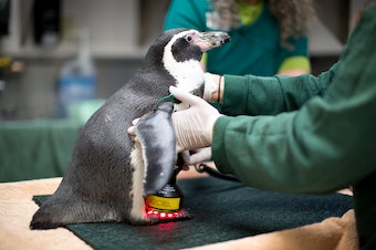 Mr. Sea the penguin receives laser treatment at Seattle's Woodland Park Zoo. Click on the image for more photos of animal treatment.