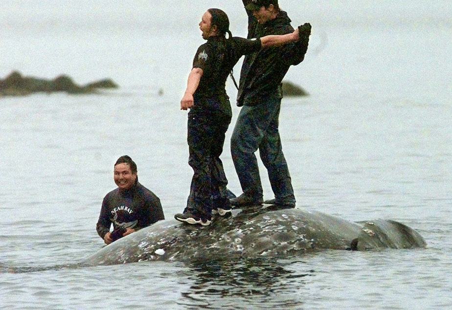 Makah whalers celebrate atop a dead gray whale after a successful hunt seen in this May 17, 1999, file photo, in Neah Bay, Wash.