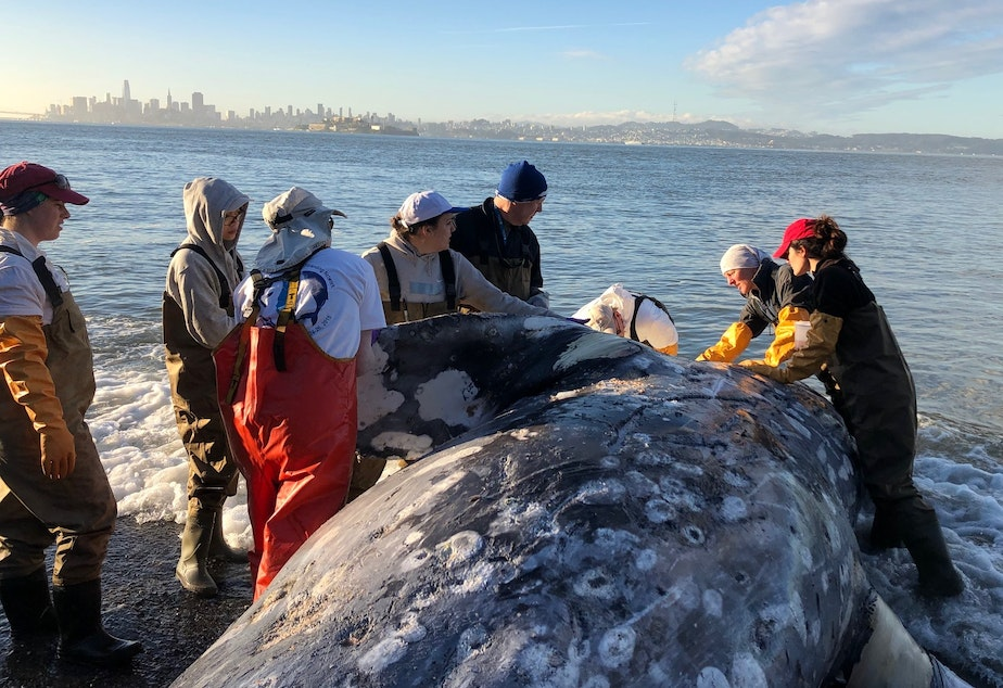 A team conducts a necropsy on a gray whale at Angel Island State Park near San Francisco on May 12.