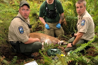 The cougar that killed SJ Brooks while they were mountain biking over the weekend.