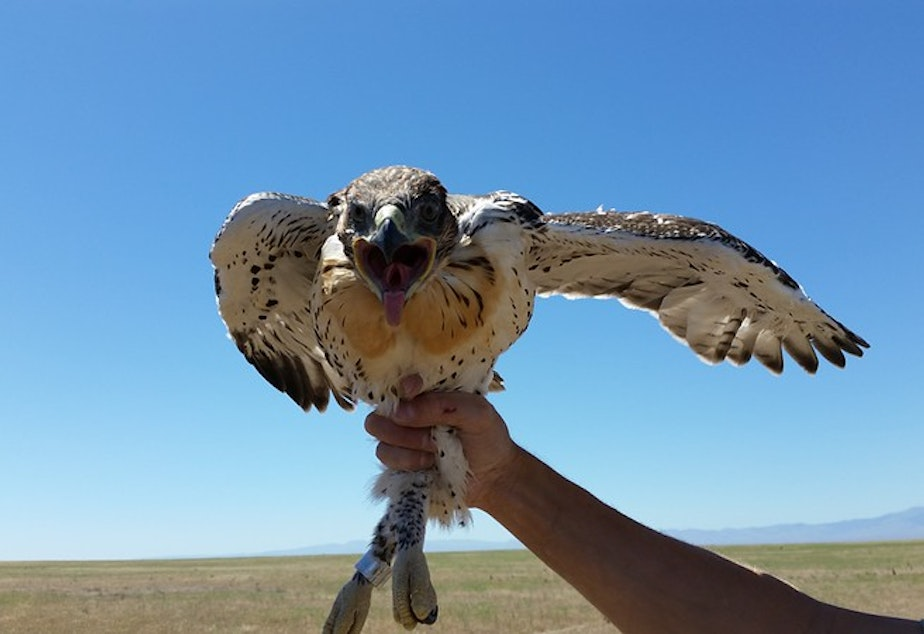 caption:  As ferruginous hawk populations decline in Washington, the state Fish and Wildlife Commission voted to change the status of the hawks from threatened to endangered.