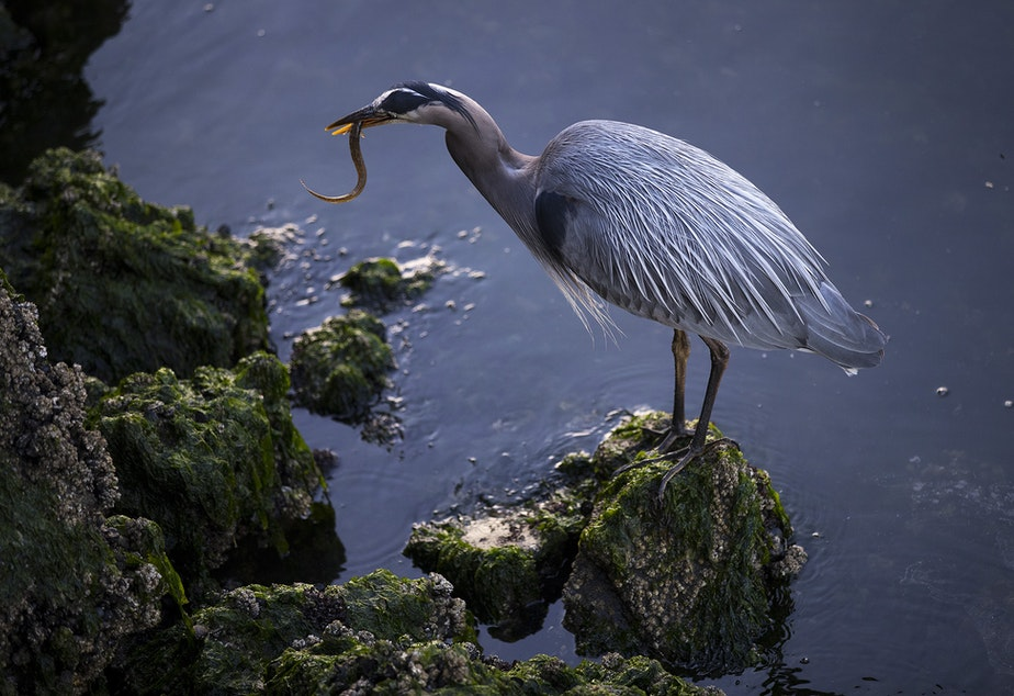 caption: A Great Blue Heron enjoys a meal on Friday, June 4, 2021, at the Ballard Locks in Seattle.