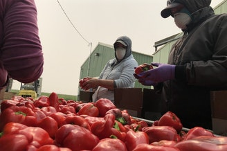 Workers in dust masks wash fresh red bell peppers in smoky conditions outside of Eltopia, Wash. Even with the masks, the smoke is still causing tight chests, itchy eyes and dry throats.