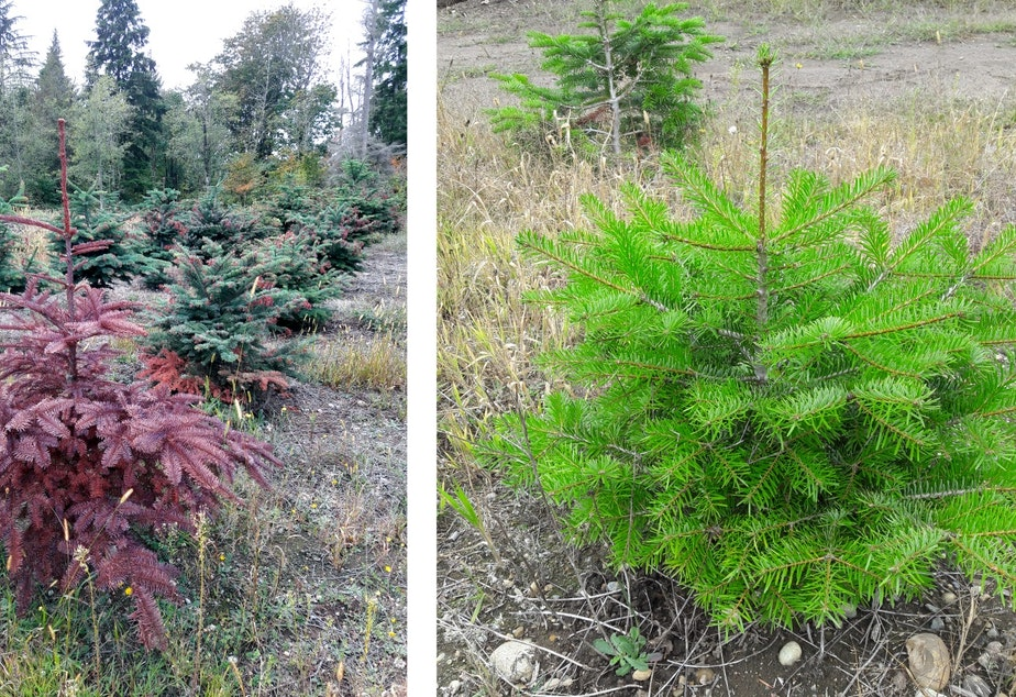 Noble Firs on the left, damaged by drought. Nordmann Firs from Turkey on the right.