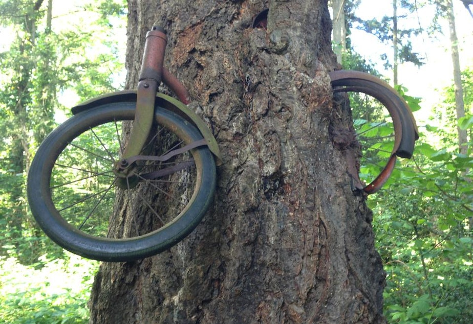 caption: Residents believe that someone hung this children's bicycle on a tree branch in the 1950s, and the tree then grew around it.