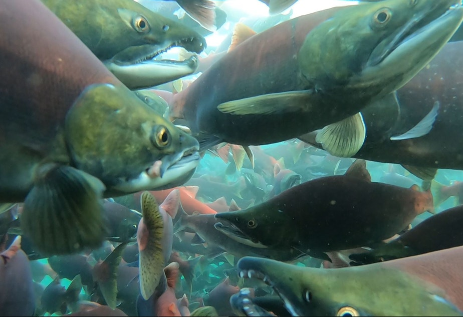 Throngs of sockeye salmon in Alaska's Little Togiak Lake,  Bristol Bay watershed, in August 2019