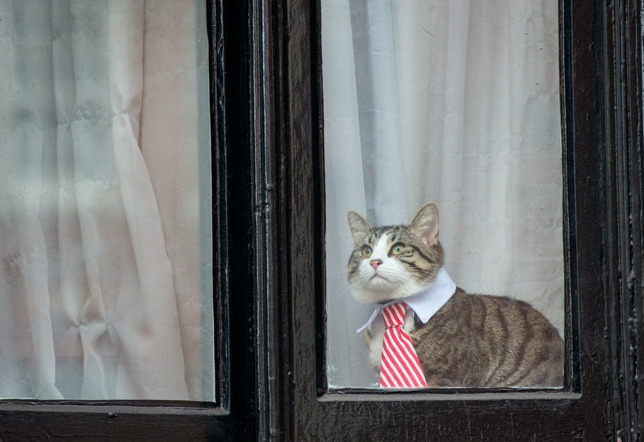 caption: Julian Assange's cat wears a striped tie and white collar as it looks out the window of the Ecuadorian Embassy in London in 2016.