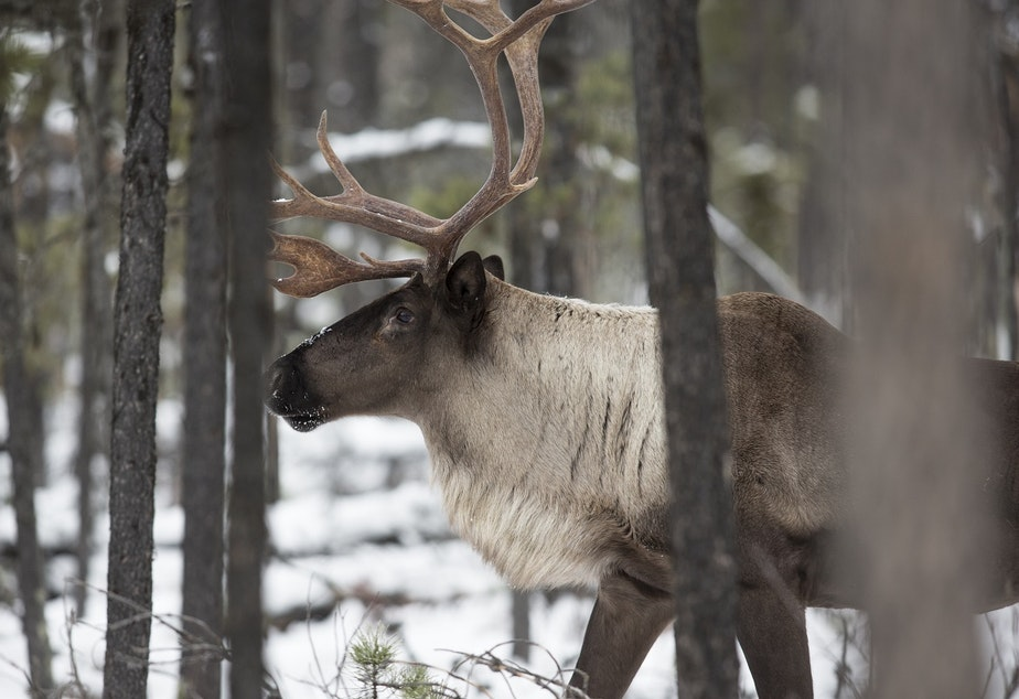 A bull mountain Caribou in the Hart Ranges of British Columbia