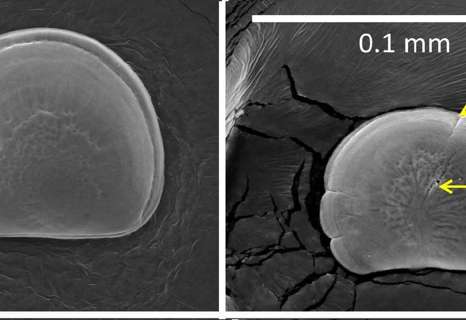 caption: Image of oyster, day 1 post-fertilization under normal (left) and acidified conditions.