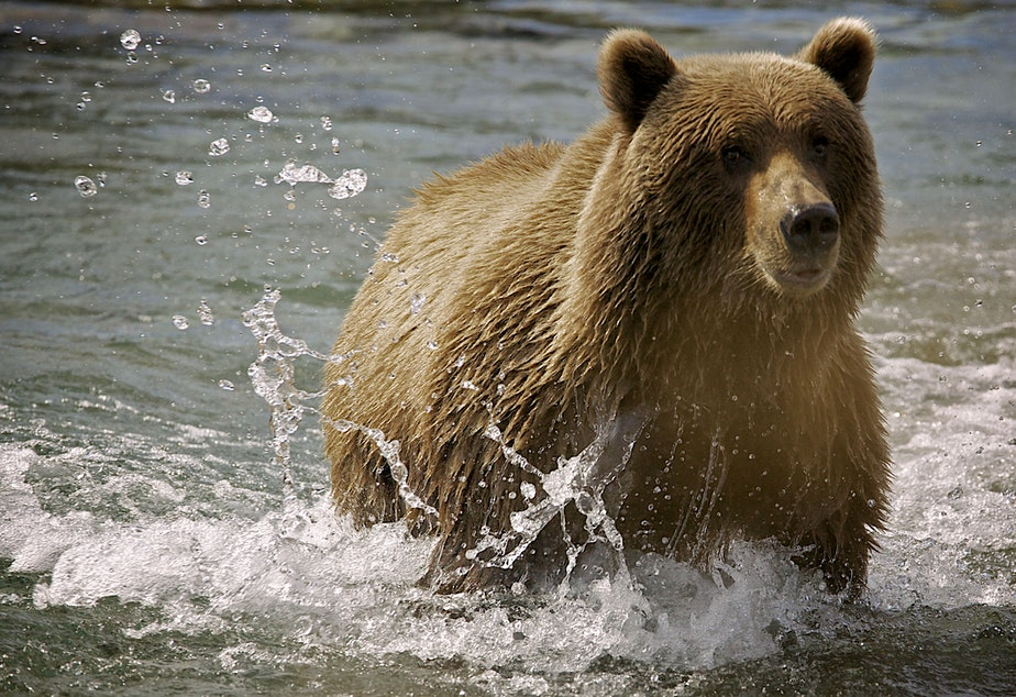 caption: A brown bear fishing on the Alaska Peninsula