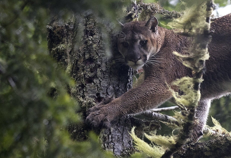 caption: Moses, a roughly 7-year-old male Cougar, is treed after hounds picked up his scent during a cougar capture mission on Wednesday, January 29, 2020, near the Joyce Access Road on the Olympic Peninsula.