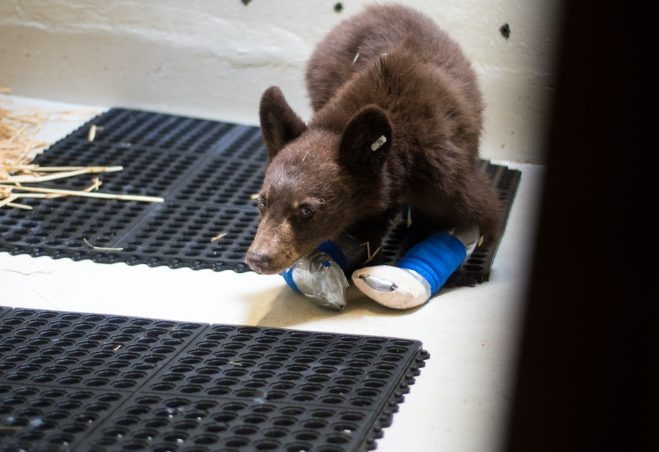 caption: The second of two bear cubs whose paws were burned in the Twenty-Five Mile Fire near Lake Chelan and treated by veterinarians with the Progressive Animal Welfare Society, or PAWS.