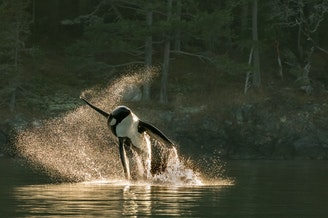 One of about 60 orcas that a whale watch boat encountered off San Juan Island on Sept. 18