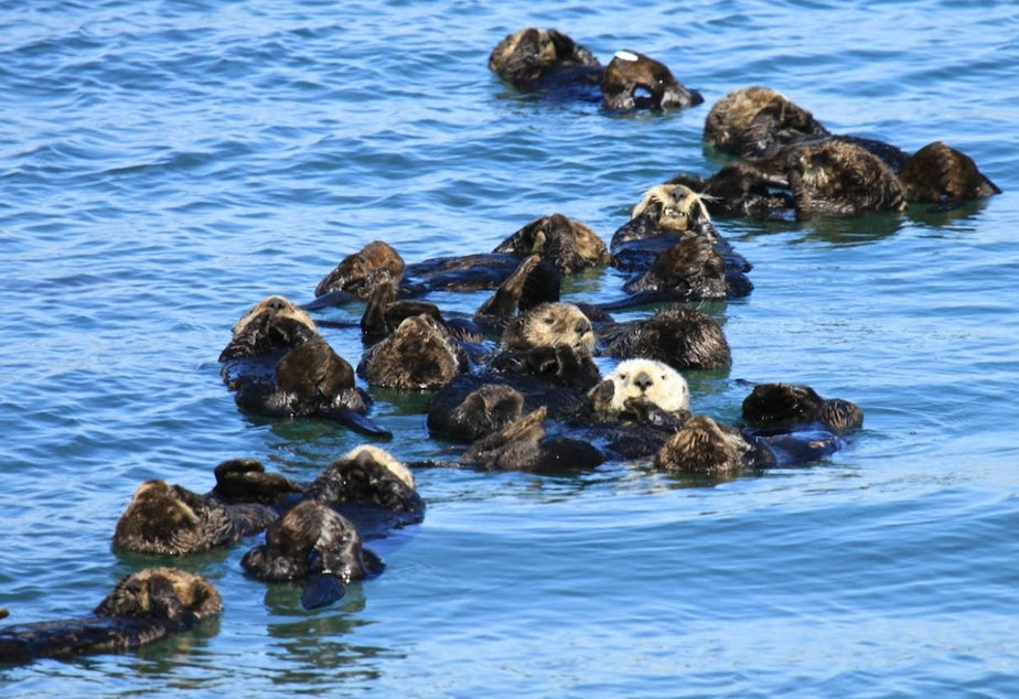 A raft of California sea otters.