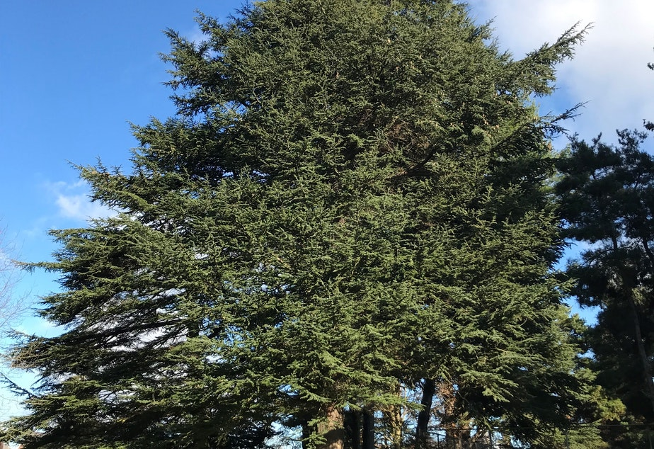 One Cedar of Lebanon planted at Green Lake is over 100 feet tall and used to be the tallest tree of that species in the state.