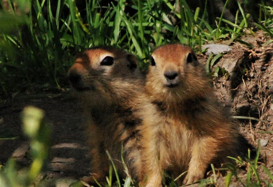 caption: Two Arctic ground squirrels