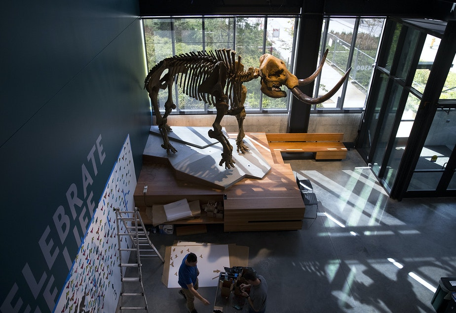 caption: A mastodon replica is shown in the lobby on Thursday, September 12, 2019, at the new Burke Museum of Natural History and Culture in Seattle.