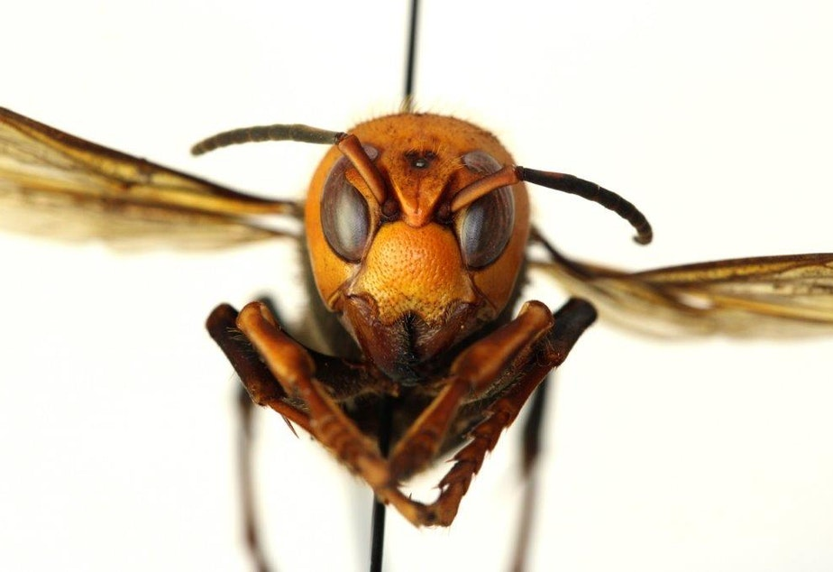 """caption: A front view of the Asian Giant Hornet - sometimes called the """"Murder Hornet"""""""