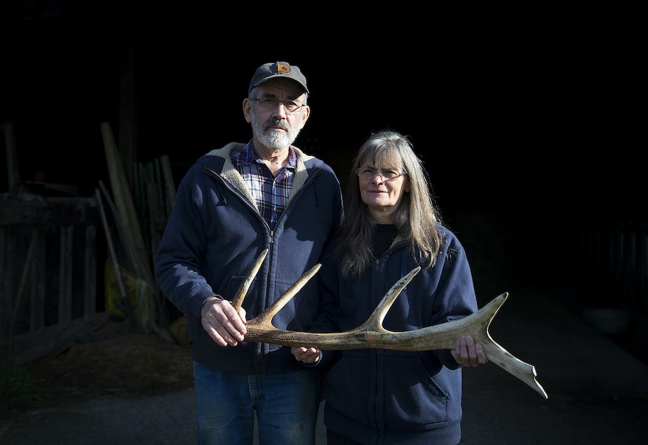 caption: Randy and Aileen Good hold an elk antler that was found on their property on Friday, November 8, 2019, at their home along State Route 20 in Sedro-Woolley. Elk antlers have caused damage to their farming equipment.