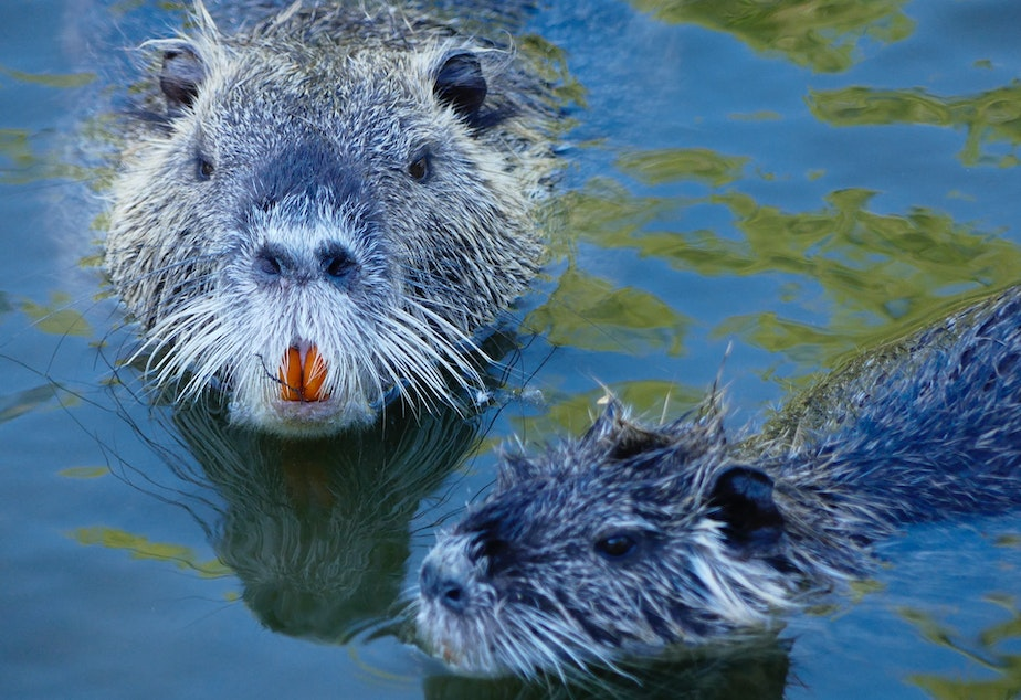 caption: The friendly North American beaver has shaped this country - including Seattle - far more than you might think.