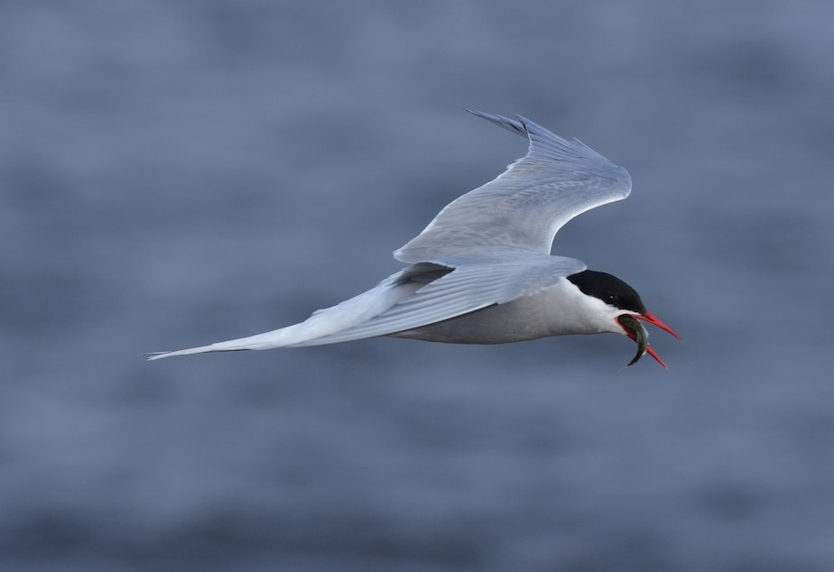 caption: Arctic Tern flies through the air with a fish in its mouth.