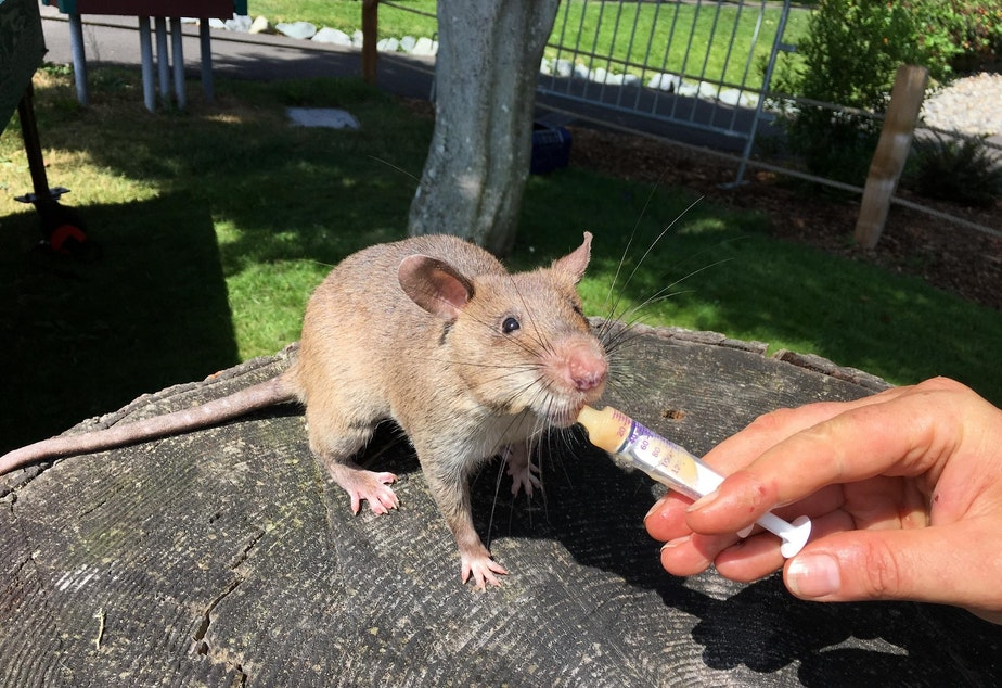 The giant rats nosh on pureed banana as a reward for finding targets.