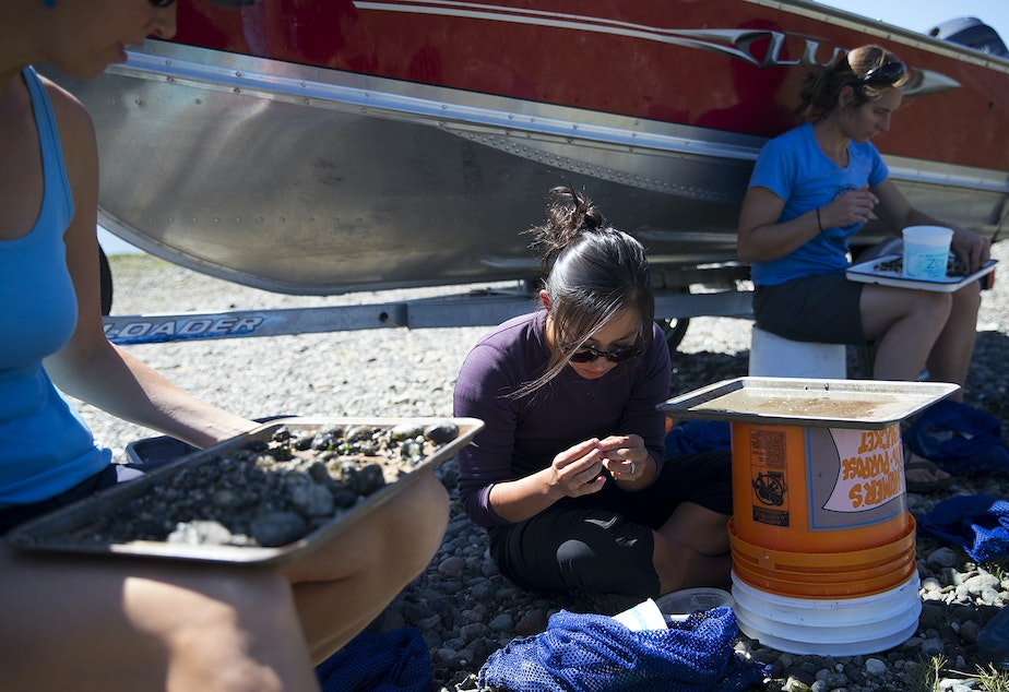 caption: From left, biologist Julie Barber, marine ecologist Courtney Greiner and fisheries technician Lindy Hunter survey clams on Tuesday, August 27, 2019, at Lone Tree Point.