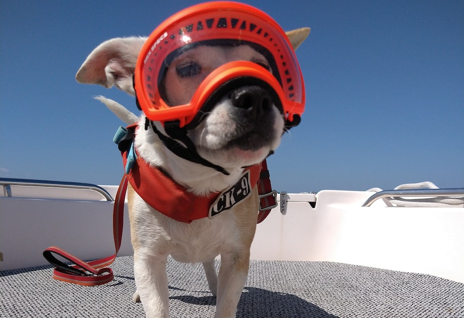 caption: Eba the dog gets ready for a research trip to non-invasively study the health of killer whales by collecting and analyzing their whale scat.