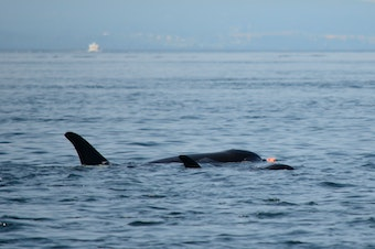 J-50 alongside her mother, J-16, with salmon.