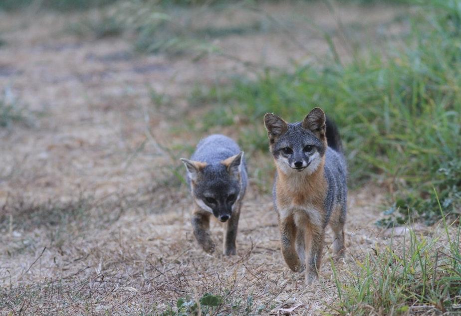 caption: Two Island Foxes make their way through the brush on Santa Cruz island.