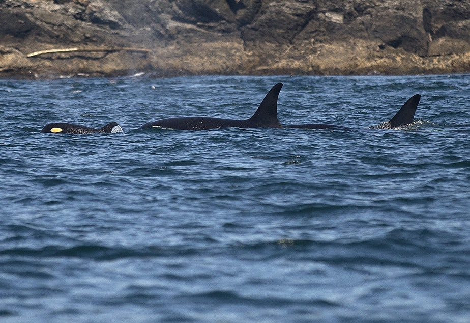 caption: Southern resident orcas from J pod, including a new calf, on Aug. 15, 2019 near Lime Kiln Point off San Juan Island. (Image taken under authority of NMFS permit No. 22141)