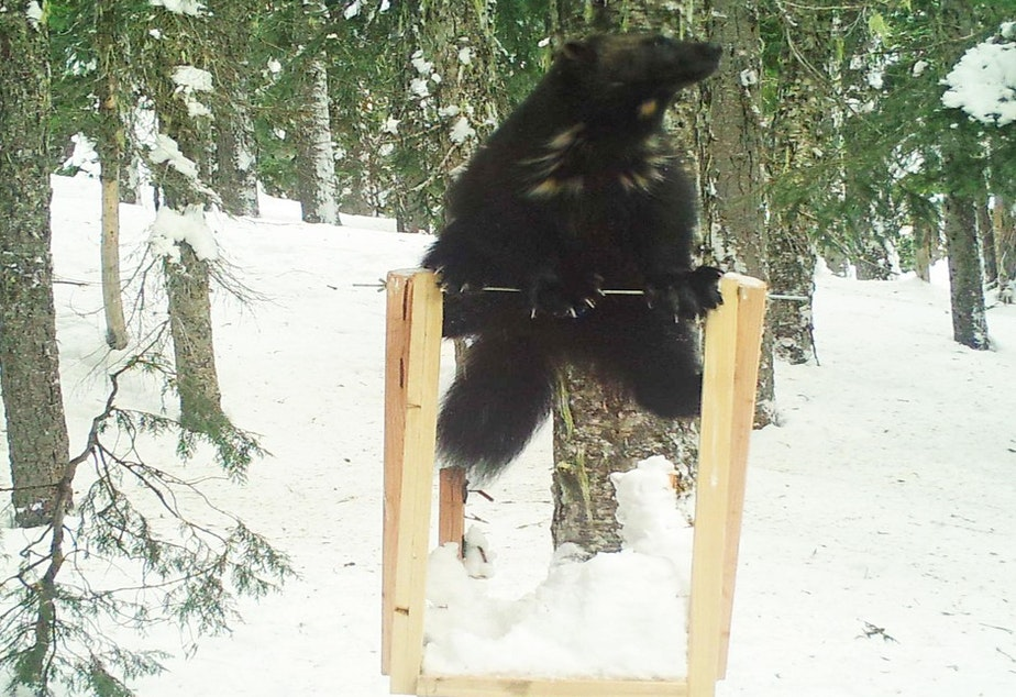 caption: File photo. An unknown male wolverine was spotted at a wildlife monitoring station in Washington's southern Cascades in 2018.