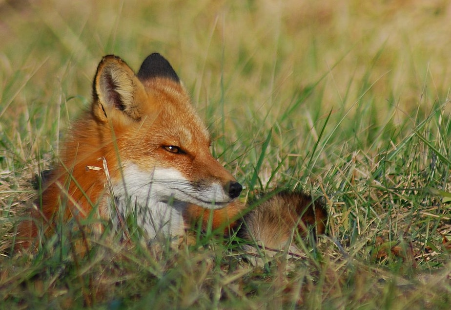 What is this fox plotting? Wouldn't you like to know.