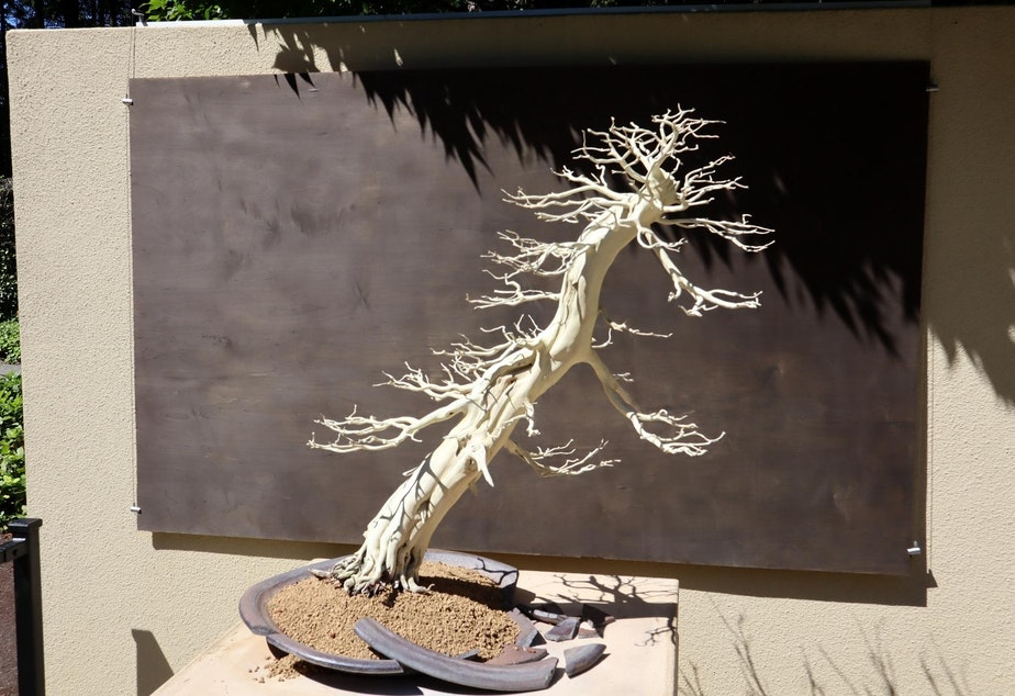 caption: Artistic and evocative even when dead, an Eastern White Cedar opens the World War Bonsai exhibition.